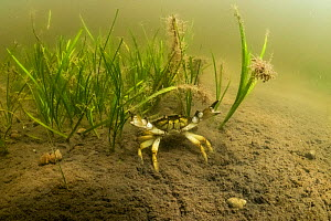 Invasive European green crab (Carcinus maenas) with eel grass (Zostera marine) in Kejimkujik Seaside National Park, Nova Scotia, Canada. July.  -  Nick Hawkins