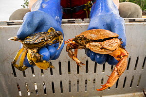 Comparison of the invasive European green crab (Carcinus maenas) on left to native Atlantic rock crab (Carcinus irroratus) on right. Kejimkujik Seaside National Park, Nova Scotia, Canada. July.  -  Nick Hawkins