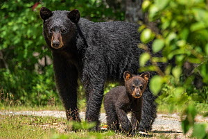 A female American black bear (Ursus americanus) and her young cub, Nova Scotia, Canada. July.  -  Nick Hawkins