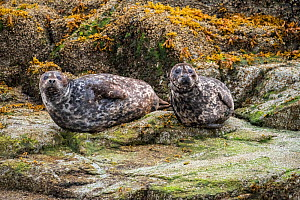 Harbour seals (Phoca vitulina) resting on rocks at low tide in the Great Bear Rainforest, near Bella Bella, British Columbia, Canada. September - Nick Hawkins
