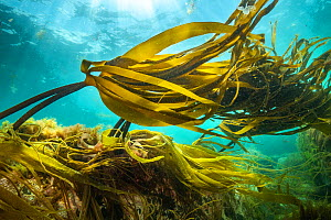 View of kelp forests (Laminaria digitata) off Nova Scotia, Canada. July. - Nick Hawkins