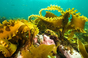 Sugar kelp forest (Sacchinaria latissima) off Nova Scotia, Canada. September - Nick Hawkins