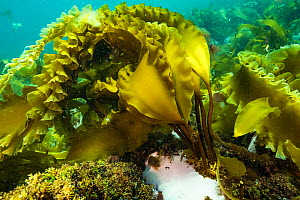 Sugar kelp (Sacchinaria latissima) off Nova Scotia, Canada. September - Nick Hawkins