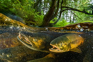 Chum salmon (Oncorhynchus keta) migrating to spawn in a small river near Bella Bella, British Columbia, Canada. September. - Nick Hawkins