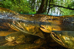 Chum salmon (Oncorhynchus keta) migrate up a small river near Bella Bella, British Columbia, Canada. September - Nick Hawkins