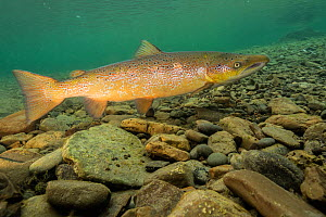 Atlantic salmon (Salmo salar) male over spawning gravel Quebec, Canada. October. - Nick Hawkins