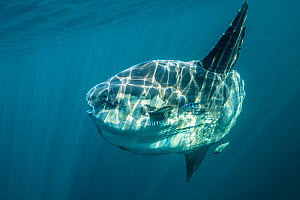 Ocean sunfish (Mola mola) off Halifax, Nova Scotia, Canada. July.  -  Nick Hawkins