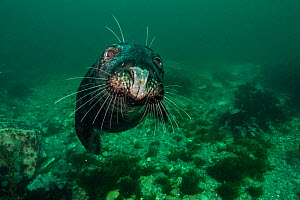 Grey Seal (Halichoerus grypus) off Bonaventure Island, Gulf of Saint Lawrence, Quebec, Canada. September. - Nick Hawkins