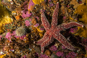 A common sea star (Asterias rubens) mixes with the benthic lsea life life off Bonaventure Island, Gulf of Saint Lawrence, Quebec, Canada. September. - Nick Hawkins