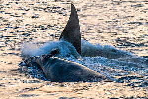 North Atlantic right whales (Eubalaena glacialis) at surface, active group comprised of one female and a number of males competing with each other in order to mate with her. Gulf of Saint Lawrence, Ca...  -  Nick Hawkins