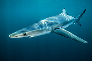 Blue shark (Prionace glauca) off Halifax, Nova Scotia, Canada. July. - Nick Hawkins