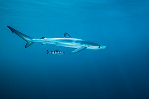 Blue shark (Prionace glauca) with pilot fish (Naucrates ductor) off Halifax, Nova Scotia, Canada. July. - Nick Hawkins