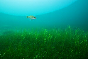 An Atlantic polluck (Pollachius pollachius) swimming over a patch of eelgrass (Zostera marina). Nova Scotia, Canada. September  -  Nick Hawkins