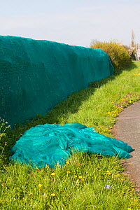 Plastic netted hedge to prevent nesting spring birds. This will allow the destruction of the hedges to enable building development to take place. Cheshire, England, UK, April. - David  Woodfall
