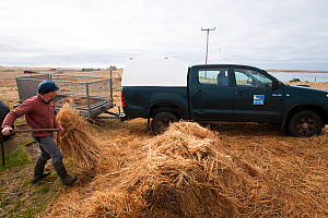 Jamie Boyle RSPB warden for the Uists, putting out Black oat and Rye grass sileage for winter feed for declining Corn Buntings (Miliaria calandra) North Uist, Outer Hebrides, Scotland, UK, March.  -  David  Woodfall