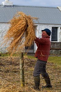 Jamie Boyle, RSPB warden for the Uists putting out black oat and rye grass silage. Winter feed for declining corn buntings (Miliaria calandra), Balranald Nature Reserve, North Uist, Outer Hebrides, Sc...  -  David  Woodfall