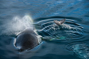 Humpback whale (Megaptera novaeangliae), adult and baby at surface, Antarctic Peninsula, Antarctica. - Jordi Chias