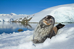Weddell seal (Leptonychotes weddellii) hauled out on ice, Antarctic Peninsula, Antarctica.  -  Jordi Chias
