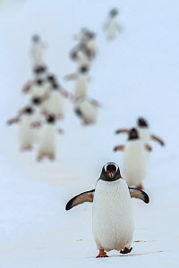 Gentoo penguins (Pygoscelis papua) walking in line, returning to nesting area, Port Charcot, Antarctic Peninsula, Antarctica. - Jordi Chias