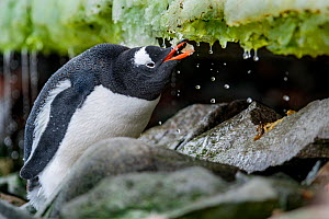 Gentoo penguin (Pygoscelis papua) drinking water from melting ice, Antarctic Peninsula, Antarctica. - Jordi Chias