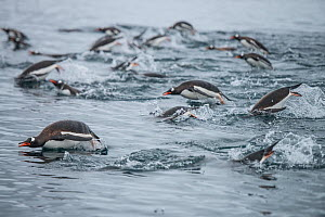 Gentoo penguins (Pygoscelis papua) porpoising, swimming together in search of krill, Antarctic Peninsula, Antarctica. - Jordi Chias