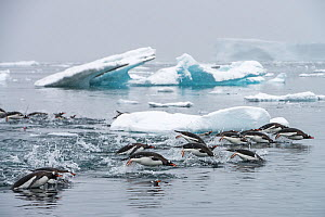Gentoo penguins (Pygoscelis papua) swimming together in search of krill, Antarctic Peninsula, Antarctica. - Jordi Chias