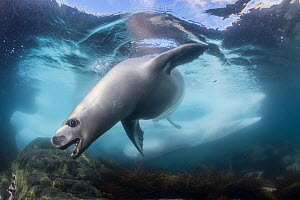 Crabeater seal (Lobodon carcinophaga) hunting under water, Antarctic Peninsula, Antarctica.  -  Jordi Chias