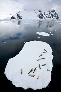Crabeater seals (Lobodon carcinophaga) resting on ice floating ice sheet, Antarctic Peninsula, Antarctica.  -  Jordi Chias