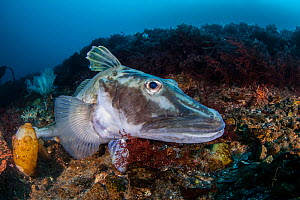 Crocodile icefish or White-blooded fish (Channichthyidae), Antarctic Peninsula, Antarctica. - Jordi Chias