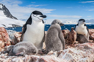 Chinstrap penguin (Pygoscelis antarcticus) with chicks, Antarctic Peninsula, Antarctica. - Jordi Chias