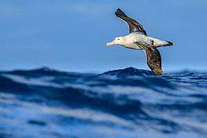 Wandering albatross (Diomedea exulans) flying on the open ocean, Drake passage, Antarctic Peninsula, Antarctica.  -  Jordi Chias
