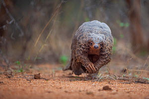 Temminck's ground pangolin (Smutsia temminckii) forages during a soft release from the Rhino Revolution rehabilitation facility in South Africa. This pangolin was saved from poachers in an anti-po...  -  Neil Aldridge
