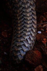 Tail of an adult Temminck's Ground Pangolin (Smutsia temminckii) showing the scales that make pangolins the world's most illegally trafficked mammal. More pangolins are illegally trafficked than a... - Neil Aldridge