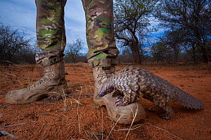 Orphaned Temminck's ground pangolin (Smutsia temminckii) climbs on to the boot of an anti-poaching guard while foraging during rehabilitation at the Rhino Revolution facility in South Africa. This...  -  Neil Aldridge
