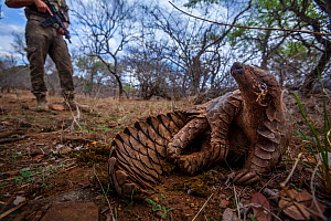 Anti-poaching guard keeps watch over an adult Temminck's Ground Pangolin (Smutsia temminckii) as it reclines in the shade to cool down while foraging for ants during a managed release back into th...  -  Neil Aldridge