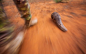 Anti-poaching guard walks alongside an adult Temminck's ground pangolin (Smutsia temminckii) while it forages for ants during its rehabilitation at the Rhino Revolution facility, South Africa.  -  Neil Aldridge