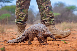 Anti-poaching guard walking alongside an adult Temminck's ground pangolin (Smutsia temminckii) while it forages for ants during its rehabilitation at the Rhino Revolution facility in South Africa.... - Neil Aldridge