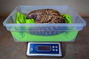 Orphaned Temminck's ground pangolin (Smutsia temminckii) is weighed to monitor its condition during rehabilitation at the Rhino Revolution facility in South Africa. This orphan was found abandoned...  -  Neil Aldridge