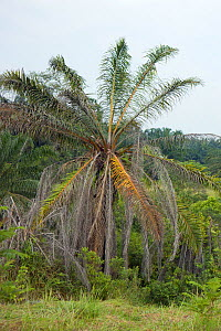Poisoned palm tree (Arecaceae) as part of a replanting project, converting palm plantations back to natural forest. Cordinated by the Sumatran Orangutan Society. Sei Betung Site, Gunung Leuser Nationa... - Suzi Eszterhas