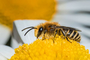 Ivy bee (Colletes hederae) feeding on Ox-eye daisy (Leucanthemum vulgare), Monmouthshire, Wales, UK. June - Phil Savoie