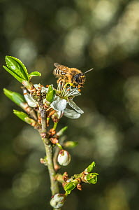 Yellow legged mining bee (Andrena flavipes) feeding on Blackthorn (Prunus spinosa) Monmouthshire, Wales, UK. April.  -  Phil Savoie