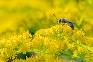 Loomed furrow bee (Lasioglossum albipes) feeding on Goldenrod (Solidago sp.), Monmouthshire, Wales, UK. September.  -  Phil Savoie