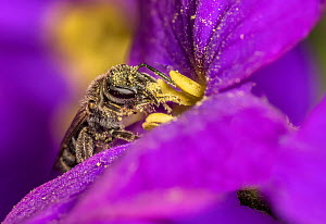 Smeathman's furrow bee (Lasioglossum smeathmanellum) tiny bee on Aubrieta flower, Monmouthshire, Wales, UK. March.  -  Phil Savoie