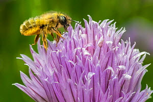 Red mason bee (Osmia bicornis) feeding on Chive (Allium schoenoprasum), Monmouthshire, Wales, UK. July  -  Phil Savoie