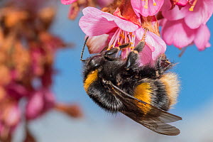 Buff tailed bumblebee (Bombus terrestris), queen feeding on Cherry blossom (Prunus sp.), Monmouthshire, Wales, UK. March  -  Phil Savoie