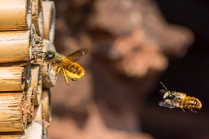 Red mason bee (Osmia bicornis) female bee being followed by male, Monmouthshire, Wales, UK. May  -  Phil Savoie