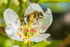 Ligated furrow bee (Halictus ligatus) on Apple blossom (Malus sp) Ripon, Wisconsin, USA, March.  -  Phil Savoie