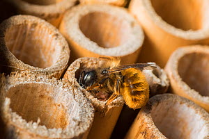 Red mason bee (Osmia bicornis) female bee capping off nest brood cell with mud, Monmouthshire, Wales, UK. June  -  Phil Savoie