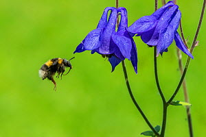 Heath bumblee (Bombus jonellus) flying to feed from Columbine (Aquilegia vulgaris) Monmouthshire, Wales, UK. March.  -  Phil Savoie