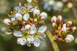 Blackthorn (Prunus spinosa) blossom, Monmouthshire, Wales, UK. April.  -  Phil Savoie